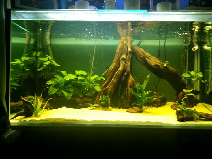 My semi planted driftwood tropical tank anubias java for Fish tank driftwood