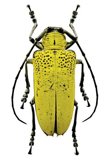 Longhorn beetle (Celosterna pollinosa - Lampang, Thailand)
