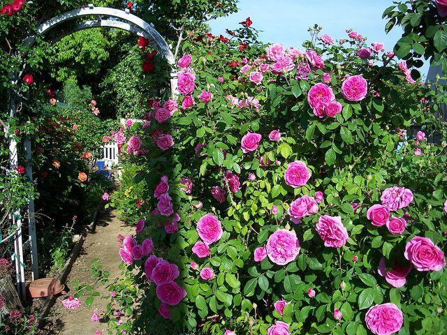 pin by mggy on kletter rosen climbing roses pinterest. Black Bedroom Furniture Sets. Home Design Ideas