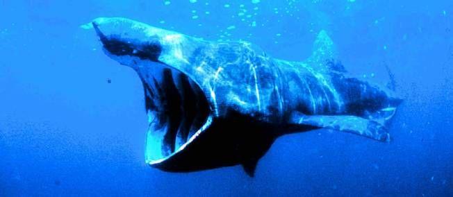 Alerte au requin sur la côte belge - Un aileron de requin pèlerin a été aperçu près de la côte de La Panne, entre Ostende et Dunkerque, causant une peur bleue aux vacanciers.
