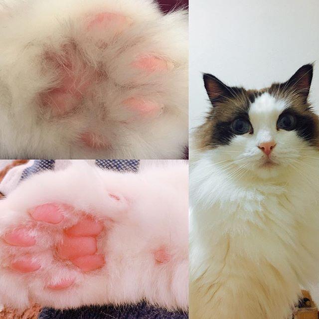 肉球のハミ毛カット✃✄ かわいい肉球を毎日拝めるし(笑) 走り回っても滑らないから安全対策にもなる🎶  アイちゃんは1度機嫌を損ねると触れる事さえ許さないシビアな女の子💭  何事もタイミングが大事😙  #ラグドール #あいちゃん #ねこ #肉球 #ハミ毛 #せるふかっと #愛猫 #猫好きさんと繋がりたい