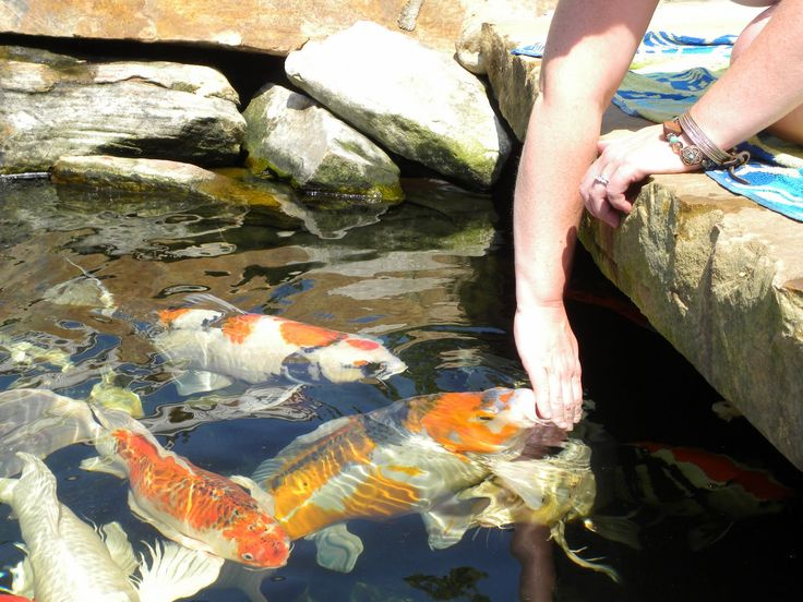 17 best images about garden koi on pinterest terry o for What do koi fish eat