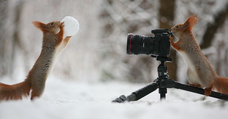 Squirrels are funny little critters that flit around trees like little brown flashes. Vadim Trunov, a Russian photographer, got pictures of some of these little rascals playing in the snow.