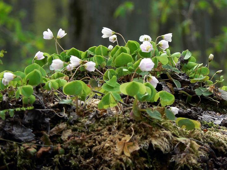 Harsyra, Oxalis acetosella - Blomväxter - NatureGate