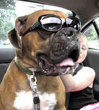 Boxer Rescue | boxer breeding boxer canada rescue boxer dog for sale boxer
