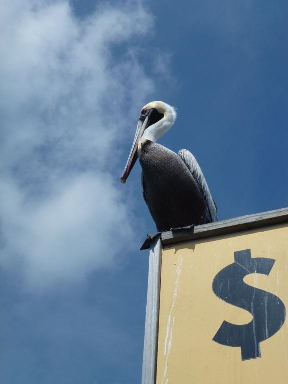 Dollar pelican - Keys FL - 2012 02