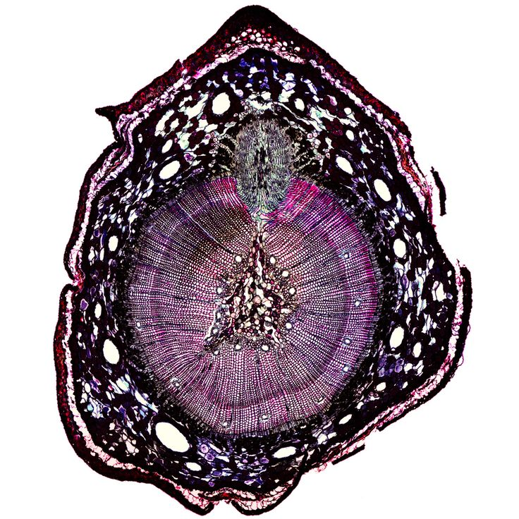 Pine Stem Cross Section Under Microscope