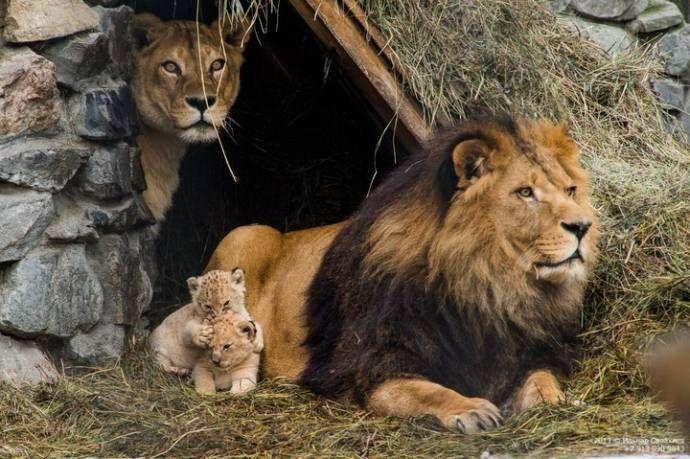 En el Zoológico de Novosibirsk (Rusia), nacieron dos cachorritos liliger. Liliger, es una raza de gato grande, cuando el padre es un león y la madre es un híbrido de león-tigre, llamado un ligre).