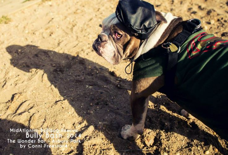 Midatlantic Bulldog Rescue Bully Bash November 8 2014 C Conni