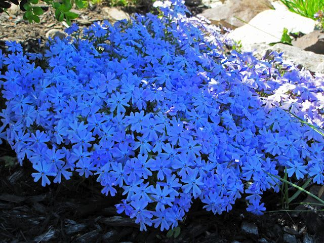 Phlox subulata (Creeping Phlox) 'Emerald Blue'