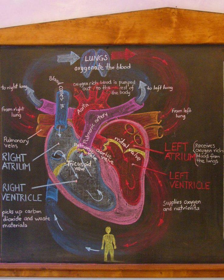 Waldorf ~ 7th grade ~ Human Physiology ~ Heart ...