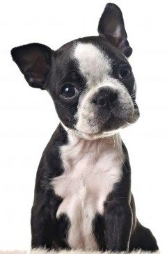 Find out more about Boston Terriers at Small Dog Place.  Is this the right breed for you? http://smalldogplace.com/boston-terrier.html