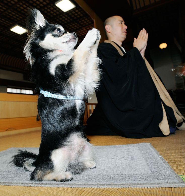 """Questo devoto cagnolino di nome Conan - qui ritratto nel monastero Zen """"Shuri Kannondo"""" di Naha, in Giappone - dicono che abbia imparato a """"pregare"""" imitando il suo proprietario: il monaco Joei Yoshikuni. La religione buddista prevede il massimo rispetto per tutti gli animali. Una leggenda narra che alla morte di Budda tutti gli animali addolorati si raccolsero in segno di devozione. Gli unici a non versare lacrime furono però i gatti e i serpenti, mostrandosi sprezzanti nei confronti di…"""