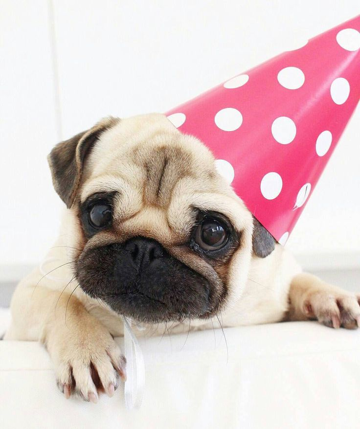 отличается поздравление с днем рождения с мопсами катания