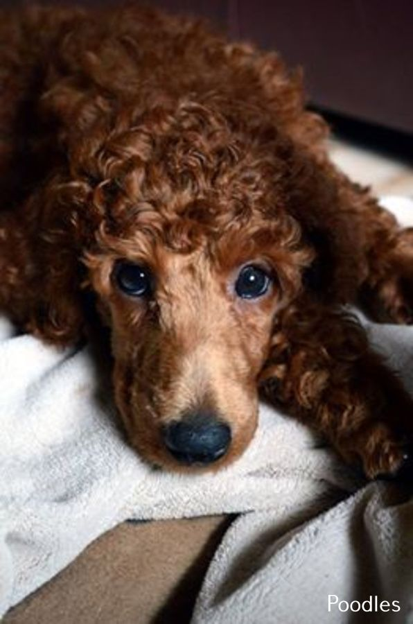 Poodles Smart Active And Proud Poodle Villakoira Koira