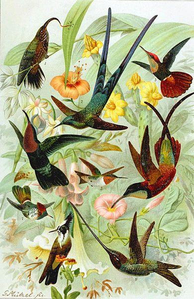 File:Various Hummingbirds.jpg - Wikimedia Commons