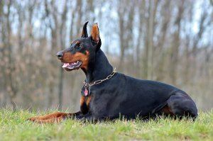 Differences Between European Dobermans and American Dobermans