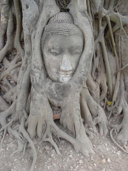 Head Of The Sandstone Buddha Image – Wat Mahathat.  Travel Photo Gallery: Ayuthaya Photo Gallery  http://www.itravelnet.com/