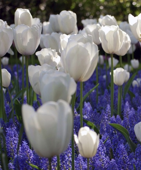 Blue Grape Hyacinth and White Tulips