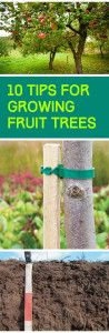 Tips for Planting Fruit Trees: includes pollination, time of year to plant, how to dig hole, watering, fertilizing, staking, etc.