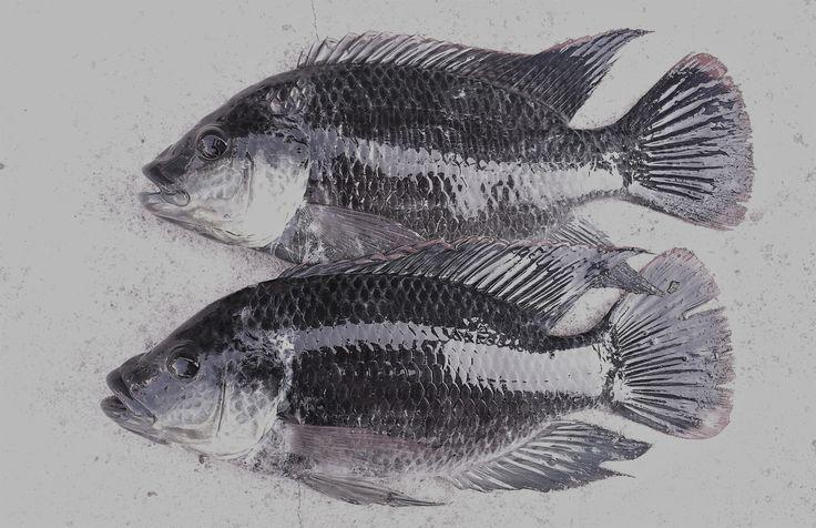 Phát hiện gen chịu mặn ở cá rô phi   Mạng Thủy sản Việt Nam
