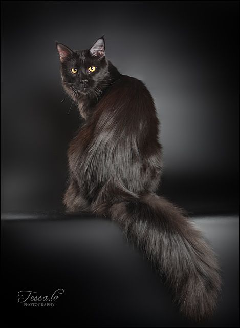 Maine Coon, black solid (n). Photo by #Tess.lv
