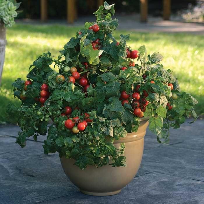 Little Bing Hybrid Tomato Growing Vegetables Fruit Plants Plants