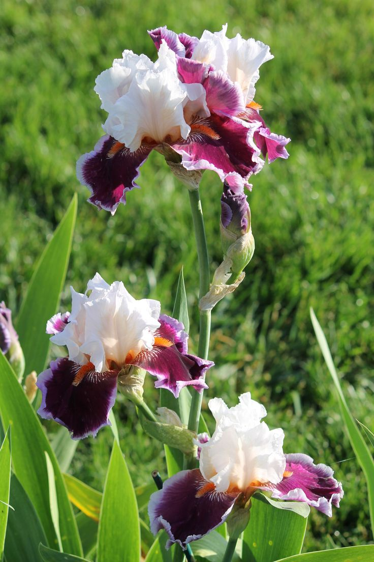 411 best iris images on pinterest bearded iris flowers garden and photo of tall bearded iris iris crimson cloud uploaded by aruba1334 izmirmasajfo Image collections