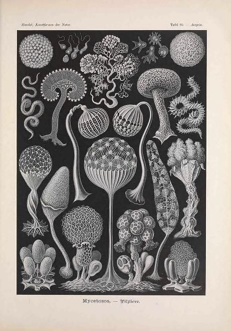 Kunstformen der Natur / - Biodiversity Heritage Library