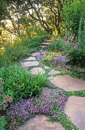Creeping Thyme (thymus) in pathway stone pavers in drought tolerant California xeriscape garden with oak trees SAXON HOLT PHOTOGRAPHY
