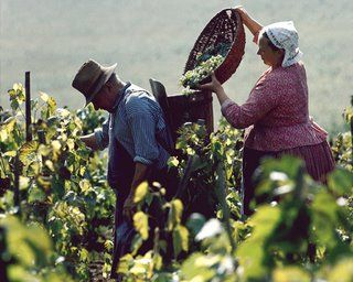 Grape harvest in Hungary