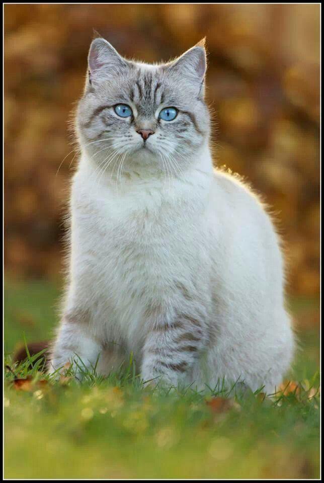 Lynx point cat | Cat Portraits | Cats, Pretty cats, Cute ...