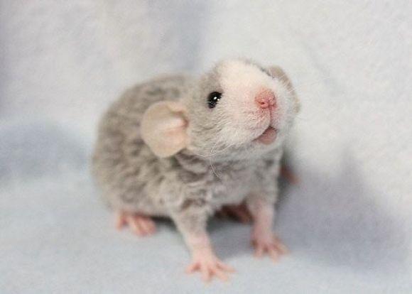 Baby Blue Rex Dumbo Rat! Looks Like My Little Saylaway! | Cutest Paw