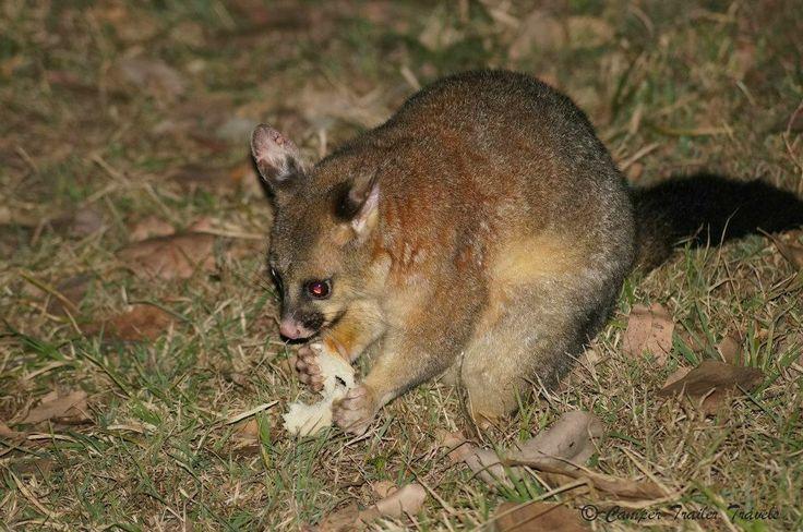 This little possum enjoyed his bit of bread!