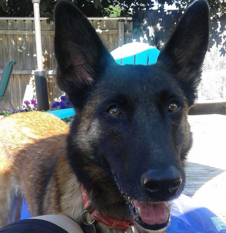 Adopt Oakley On Petfinder In 2020 Malinois Dog Belgian Shepherd Belgian Malinois