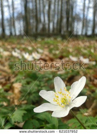 white spring flower in the forest of Norway.