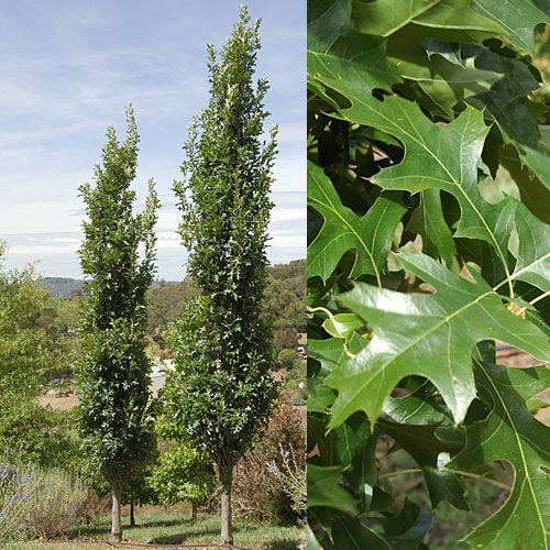 Quercus Palustris Pringreen Green Pillar R A Very