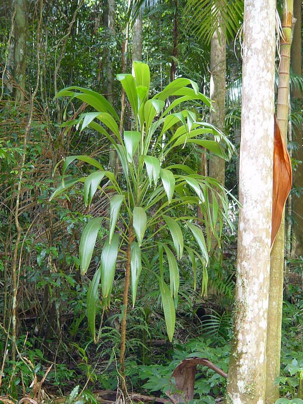 Broad Leaved Palm Tree (Cordyline petiolaris)