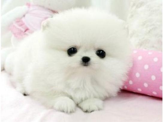 0,00€ · Regalo cachorros de pomerania mini toy · Regalo cachorros de pomerania mini toy para adopcion.infor correo ***::: *** · Mascotas y animales > Mascotas > Perros > Perros de raza > Perros Pomerania