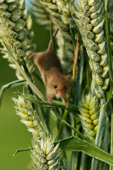 Mäuschen im Weizenfeld