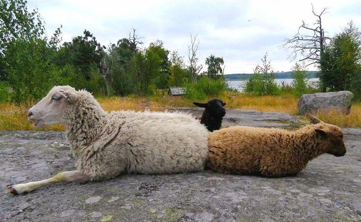 Kesäisin Kuusiluodossa laiduntaa lampaita.
