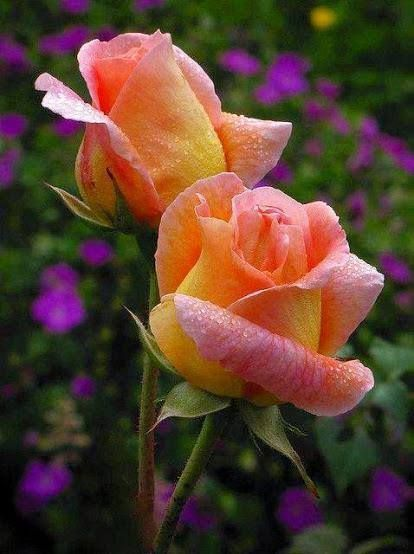 Peach and Yellow Roses
