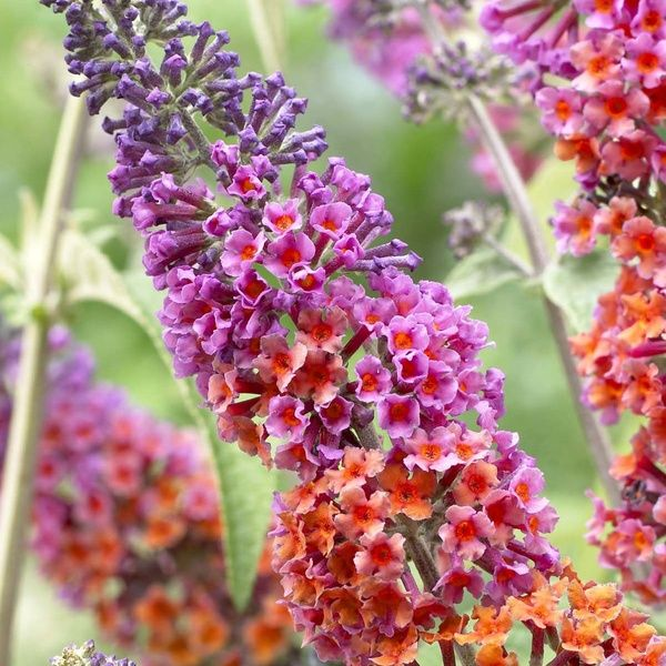 Up To Three Buddleia Rainbow Bushes With Optional Butterfly House In 2020 Flowers Perennials Butterfly Bush Biennial Plants