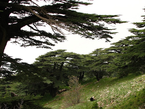 The Cedars of Lebanon is a conservancy park in Lebanon protect the Cedar of Lebanon or Lebanon Cedar trees which are native to the area. The Cedar of Lebanon tree may also be found in parts of Turkey, Syria, and the in the Atlas Mountains of Algeria and Morocco.