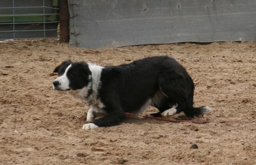 Well Started 10 Month old male ABC registered Border Collie for Sale - For more information click on the image or see ad # 39913 on www.RanchWorldAds.com
