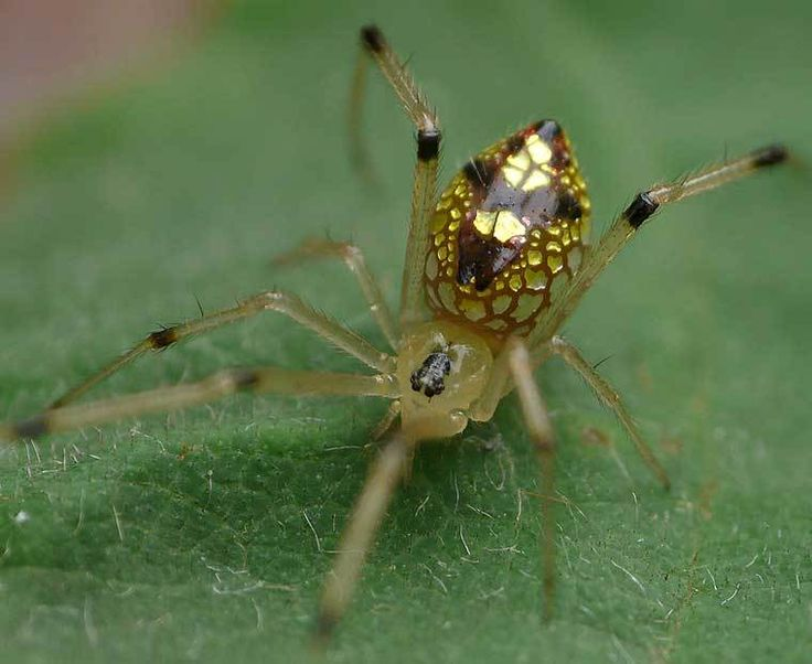 Who says spiders aren't pretty? Check out these 'mirror spiders'