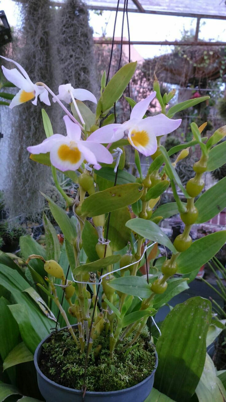Dendrobium findlayanum