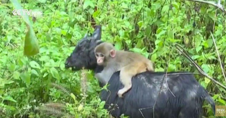 Affenbaby hat neue Ziegen-Familie gefunden! #News #Unterhaltung