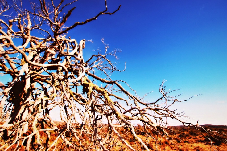 Bizarre dead trees littering several fields in the highlands of Tasmania. They are amazing!!