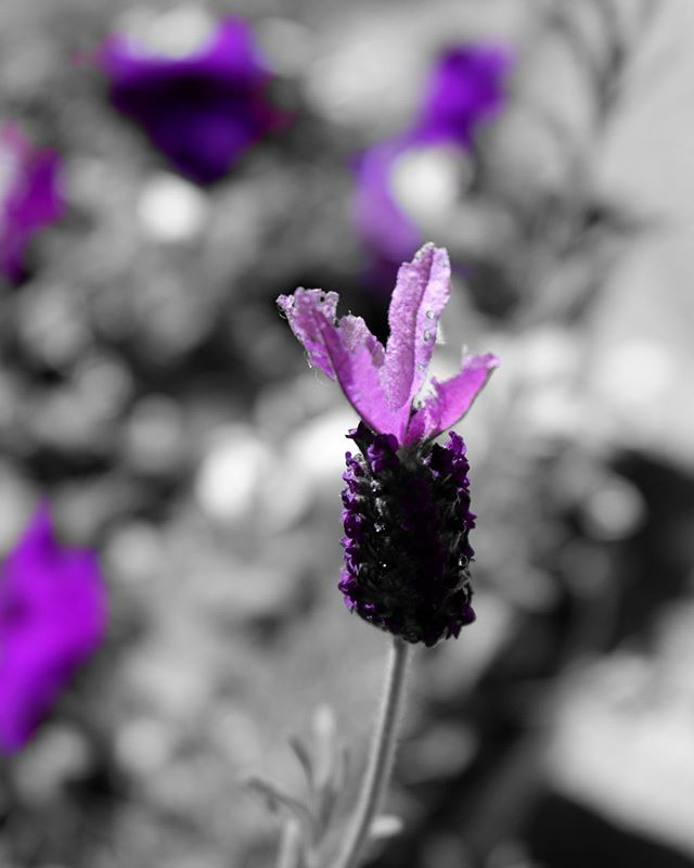 My lavender has blooms, love seeing this purple. Yes this is another photo taken with my Fuji FinePix XP120, black & white except for the splash of purple. Can you tell I'm having fun with this camera? More ways to take photos of my flowers and everything